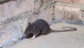 Rodents: Rats, Norway Rats, Mice, Roof Rats etc