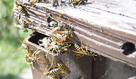 The Stingers: Wasps, Bees, Hornets & Yellow Jackets